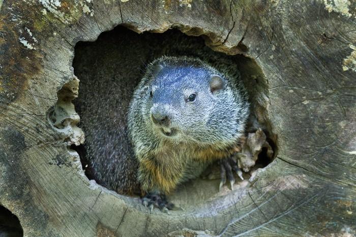 Freddie the Groundhog
