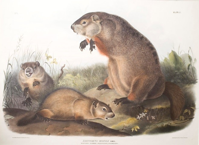 Audubon Lithograph of Three Groundhogs