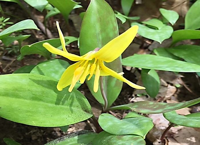 Trout Lily or Dogtooth Violet in the Earl L. Core Arboretum