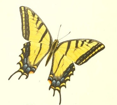 Colored image of black and yellow butterfly from Edwards book Butterflies of North America