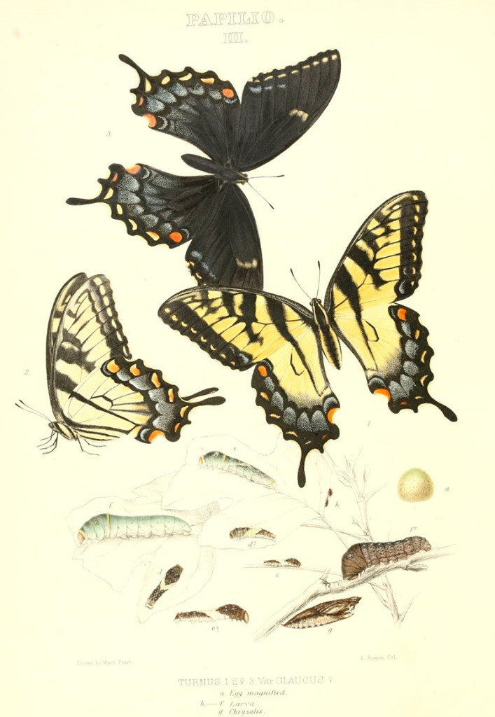 Colored images of butterflies from Edwards book Butterflies of North America
