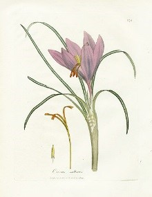 Colored book plate of crocus plant