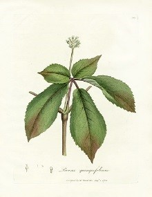 Colored book plate of ginseng plant