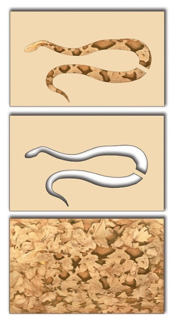 Three colored drawings. Top image: copperhead camoflaged in leaves; middle: cutout of copperhead shape; bottom: colored-in copperhead shape