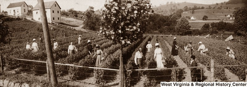 Men and women in a field of rows of small shrubs, harvesting something