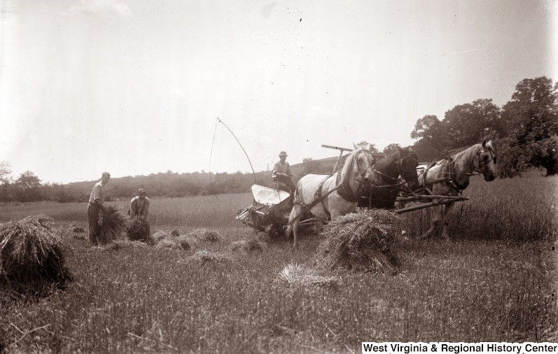 People in a wheat field tying up wheat bundles to put on horse-drawn cart