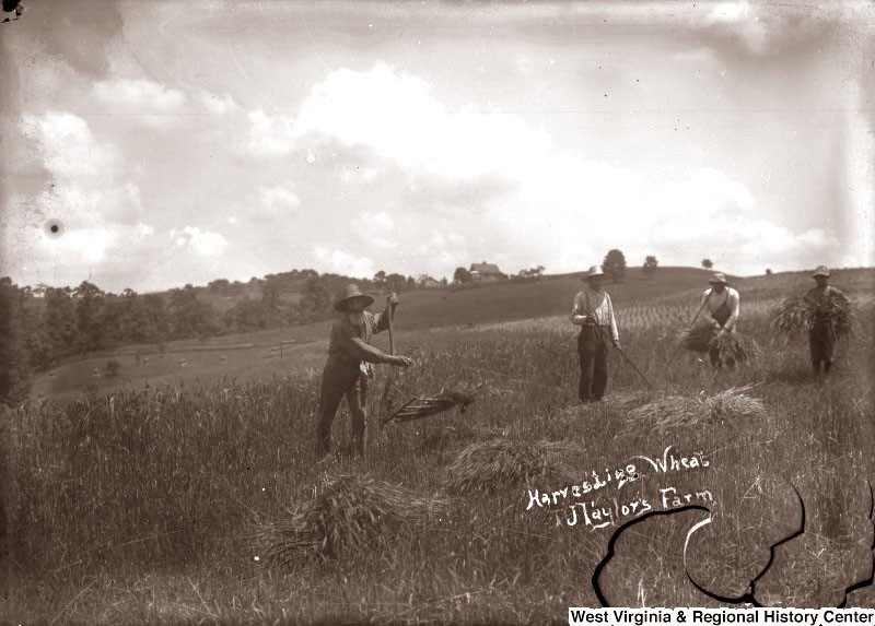 Men in a field harvesting wheat