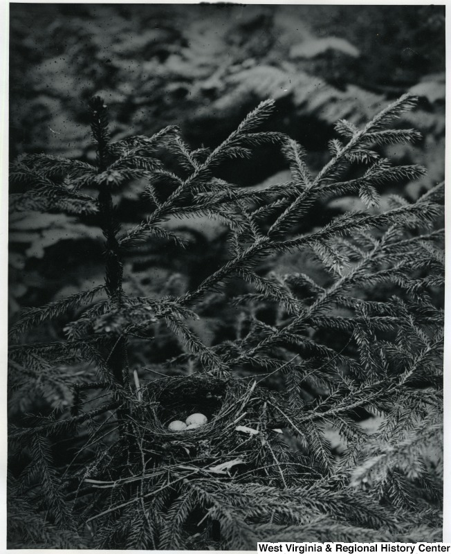 Nest of Olive Backed Thrush on Spruce Knob, date unknown