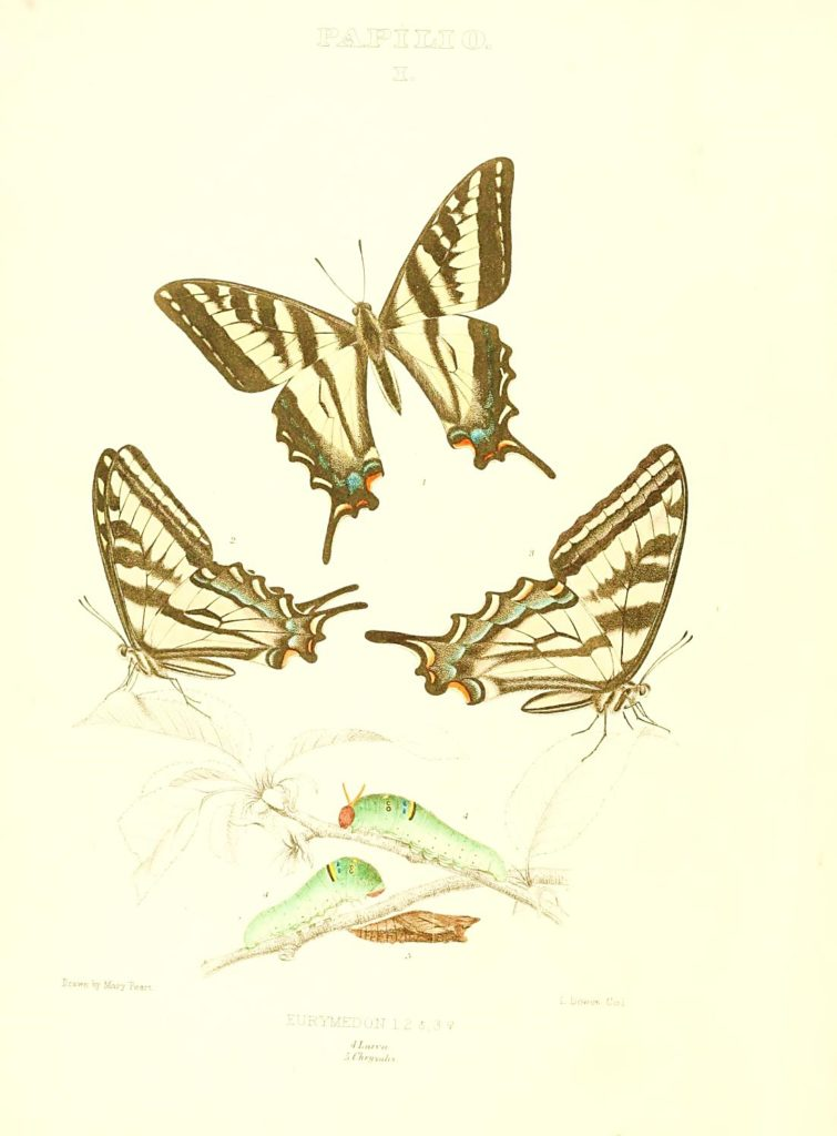 Colored sketches of Eastern Tiger Swallowtail