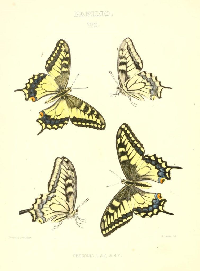 Colored sketches of Papilio Oregonia