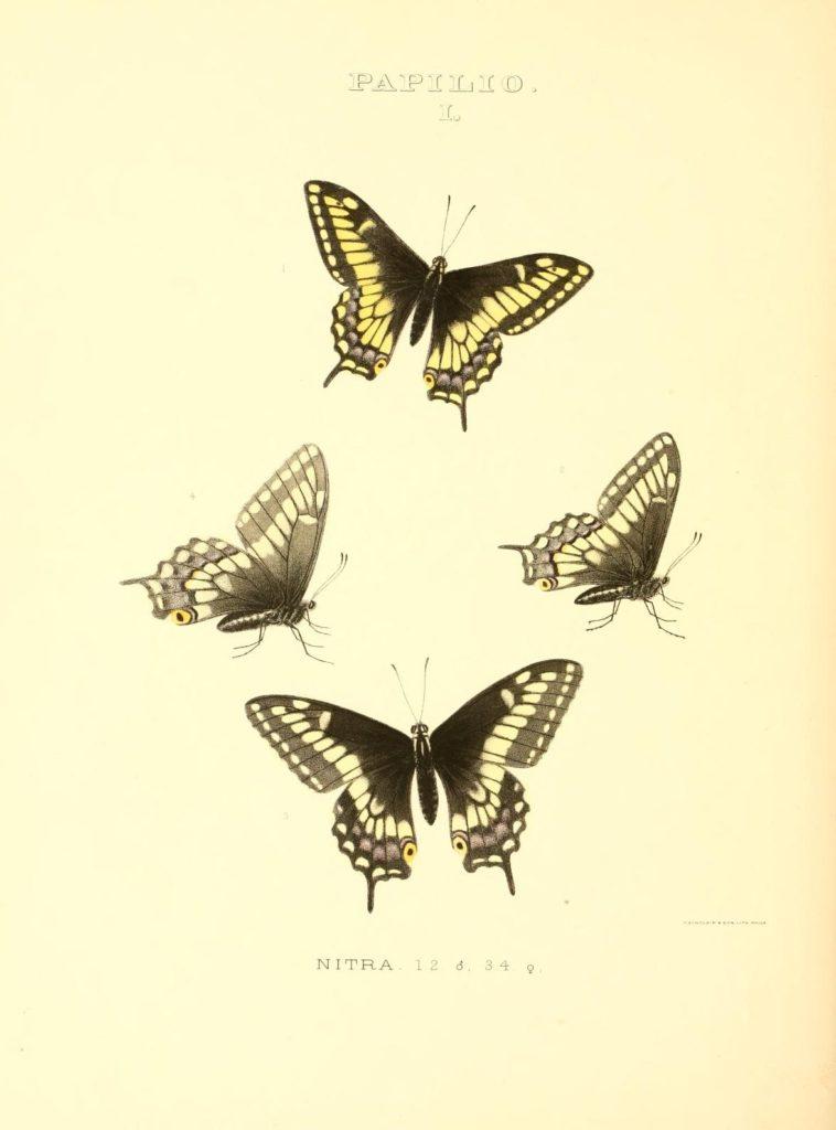 Colored sketches of Papilio Nigra