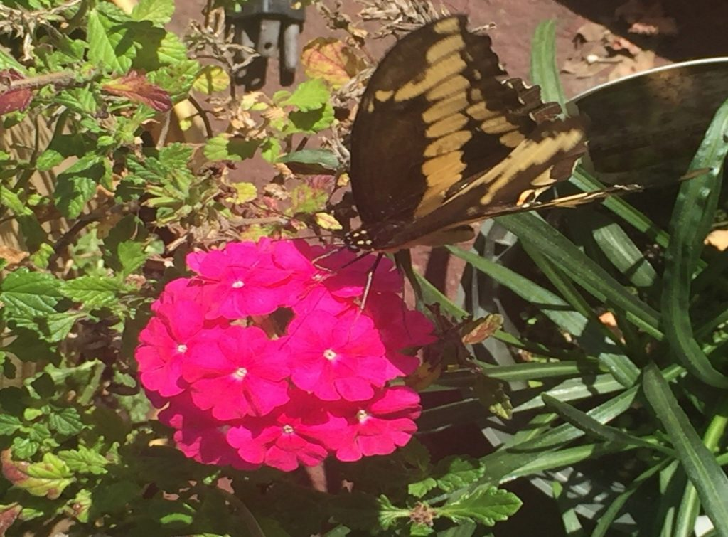 Eastern Swallowtail Butterfly on flower