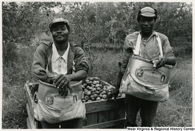 Two African-American men with apple sacks, in front of an apple bin in an orchard