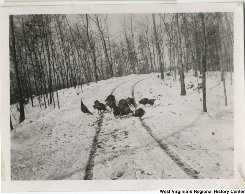 Group of turkeys on snowy ground