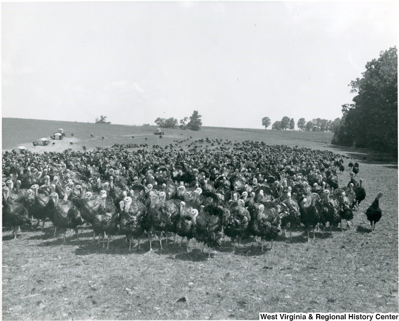 Flock of turkeys, on J. W. Ruby farm in Preston County, 1967
