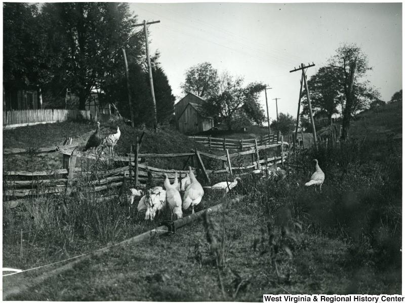 Turkeys near a fence on WVU's Agricultural Experiment Station