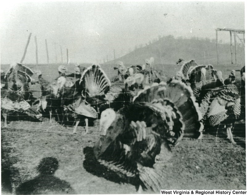 Close-up of group of turkeys