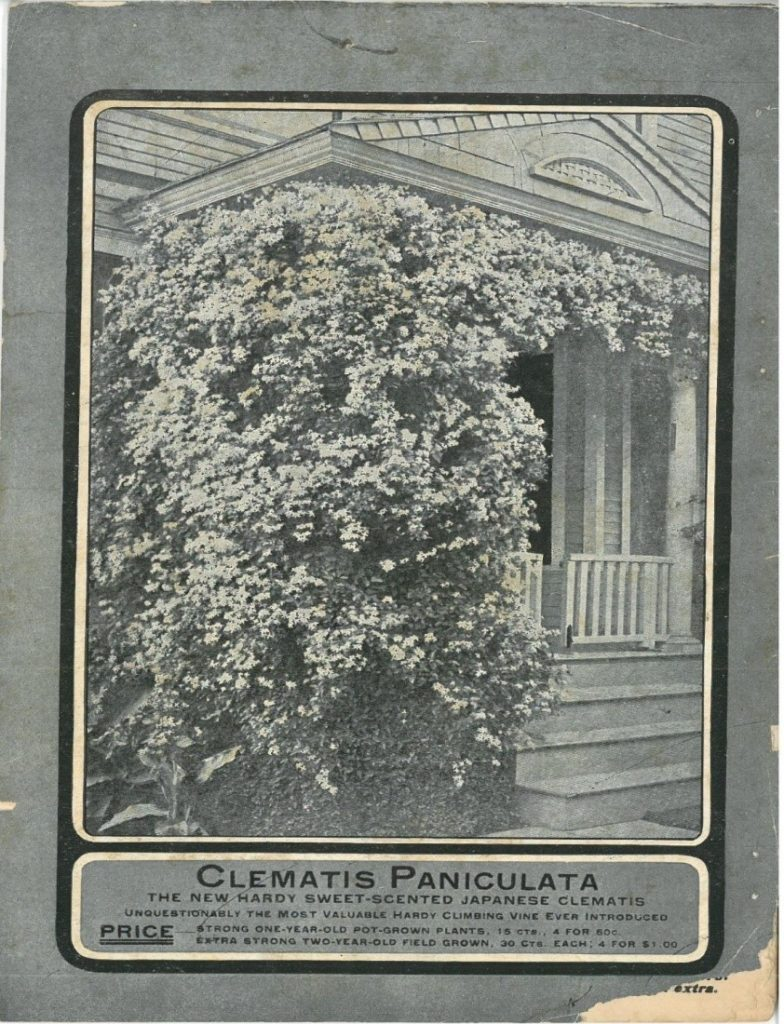 Rear cover of 1902 greenhouse catalog, showing clematis paniculata vine