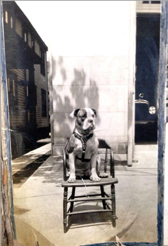 Doc the bulldog seated on a chair