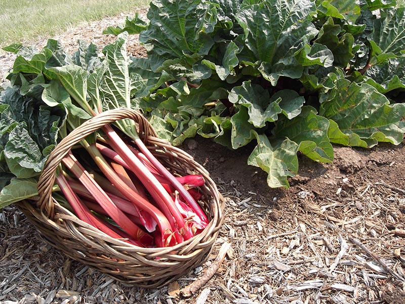 Rhubarb in basket and planted in the ground