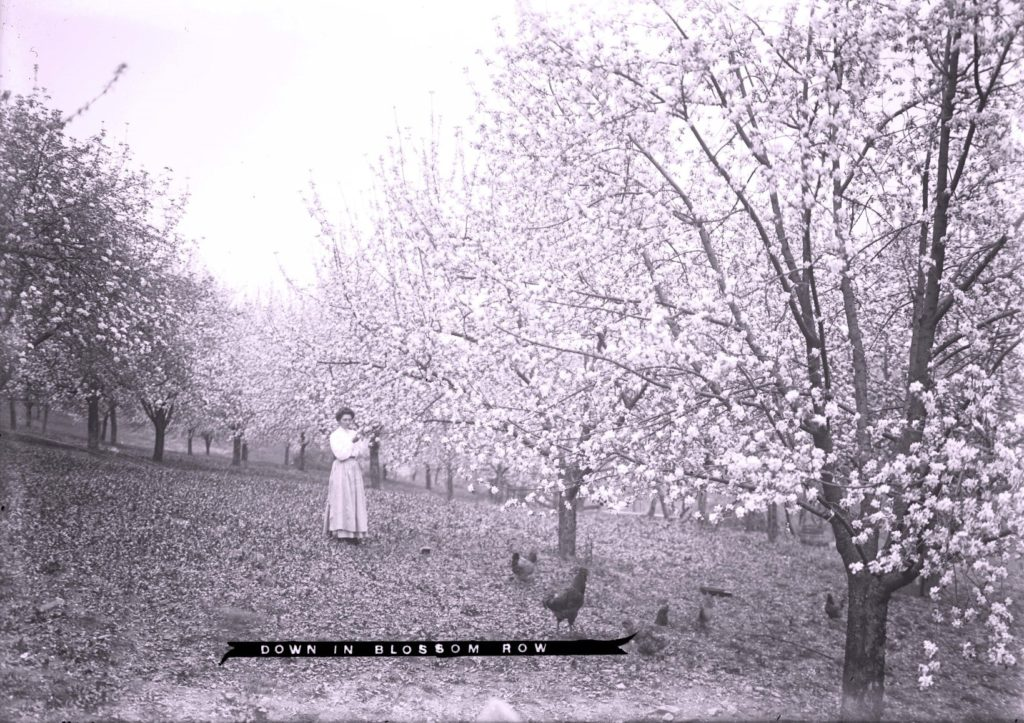 "Woman in orchard, with blooms on the trees, with text ""Down in Blossom Row"""