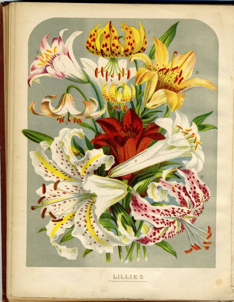 Book page labeled Lillies, with many flowers depicted in color