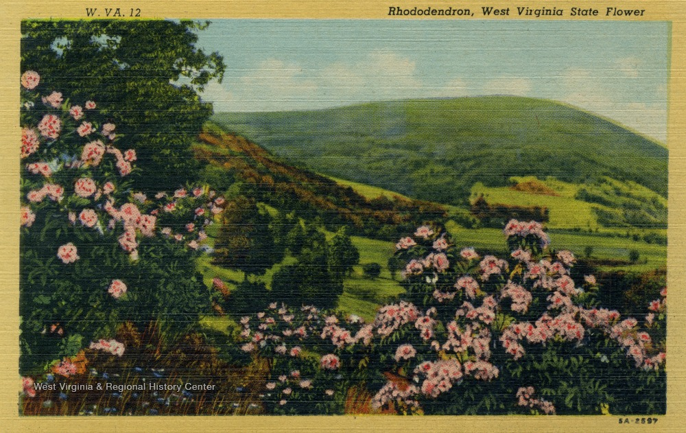 Postcard of rhododendron