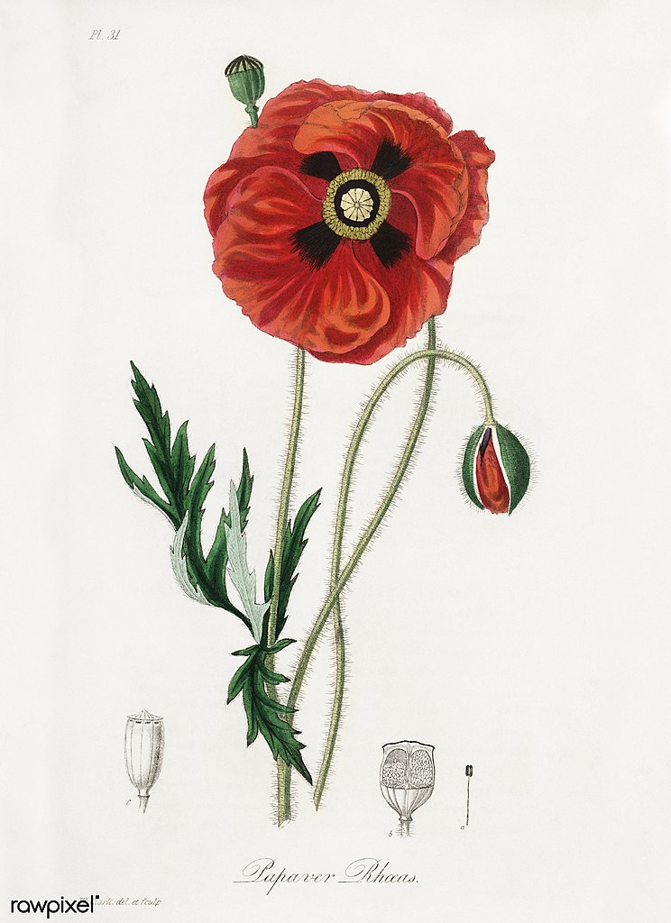 Botanical illustration of a poppy
