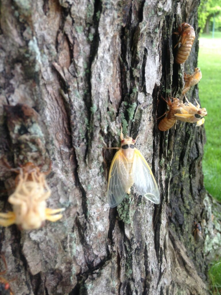 Cicadas in various stages of emergence on a tree.