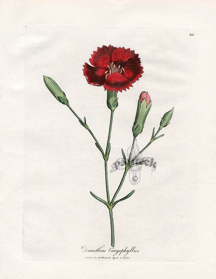Botanical illustration of a carnation