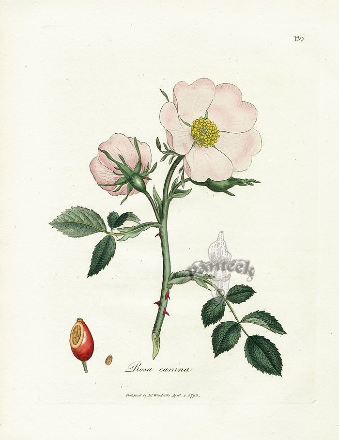 Botanical illustration of a rose